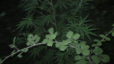 Qusarda narkotik bitkilərin kultivasiyası ilə məşğul olan şəxs saxlanılıb