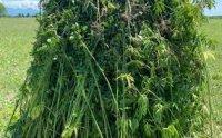 Yevlaxda çətənə bitkisinin kultivasiyası ilə məşğul olan şəxs saxlanılıb.