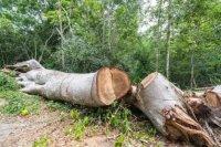 """Şəkidə """"Qırmızı kitab""""a düşən ağacların SOYQIRIMI başlayıb – Ekologiya Nazirliyi """"qatili"""" tapacaqmı?"""